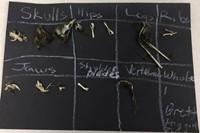 Brett's bird and rodent bones