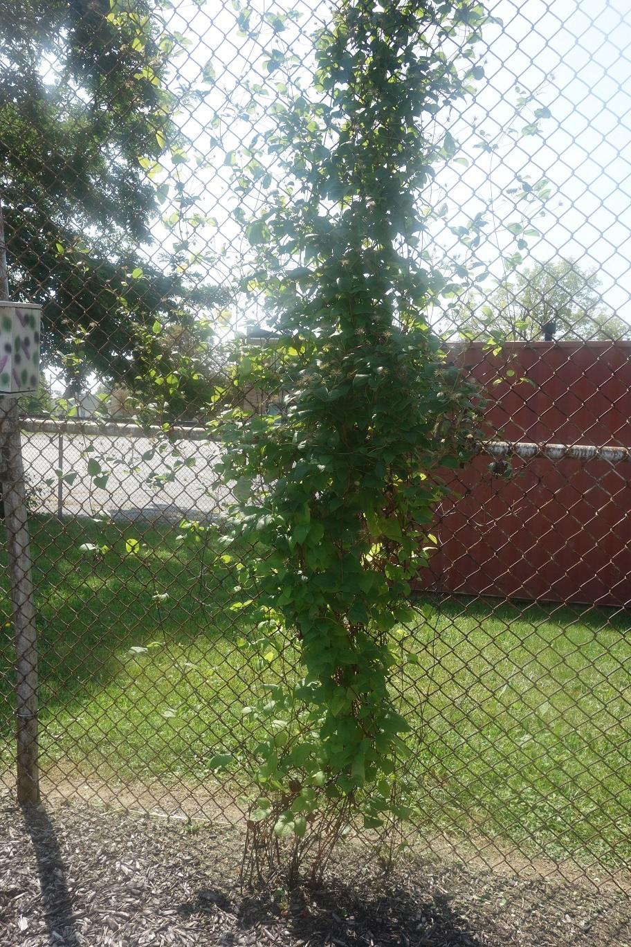 vines in the garden